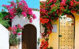 """""""Chết lịm"""" trước những ngôi nhà có giàn hoa giấy đẹp mỹ mãn"""