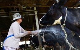 Củ Chi sẽ mời các công ty sữa bàn cách hỗ trợ nông dân