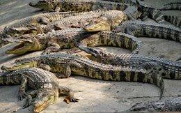 Cá sấu rớt giá, người nuôi lao đao