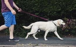 Ở nhiều nước trên thế giới, có bắt buộc phải rọ mõm chó khi dắt chúng đi dạo?
