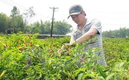 Cơ hội cho các doanh nghiệp Việt xuất khẩu ớt vào Malaysia