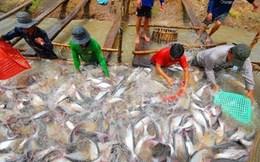 Giá cá tra có xu hướng tăng trở lại