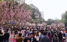 Hà Nội sẽ trồng hơn 4000 cây hoa anh đào ở các công viên