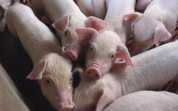 Chăn nuôi Phú Sơn tiếp tục gây bất ngờ với tỷ lệ chia cổ tức 100%