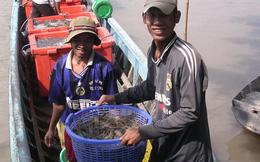 Thương lái Trung Quốc lại phá ngành tôm Việt Nam