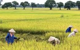 Vì sao trồng lúa nghèo nhất?