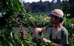 Lâm Đồng tiếp tục hỗ trợ 3,8 tỷ đồng cho nông dân tái canh càphê