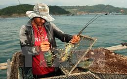 Xác định nguyên nhân tôm hùm, cá mú chết hàng loạt