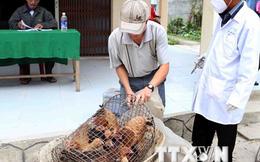 Hà Nội: Bắt và tiêu hủy gần 1 tấn gà nhập lậu từ Trung Quốc