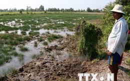 Xâm nhập mặn nghiêm trọng, nhiều diện tích lúa có thể mất trắng