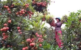 Bắc Giang xuất khẩu trên 32.200 tấn vải thiều ra nước ngoài