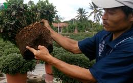 Người trồng hoa Bến Tre lao đao vì nhãn thuốc ghi mập mờ