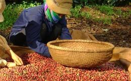 Xuất khẩu cà phê cả năm có thể đạt trên 3 tỷ USD