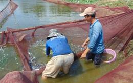 Cá tra giống không đủ nguồn cung, giá tăng cao