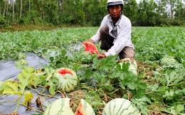 Đầu mùa, nông dân khóc ròng vì dưa hấu bán không ai mua