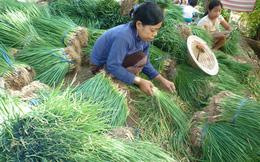 Giá hành lá ở đồng bằng sông Cửu Long bỗng nhiên tăng cao