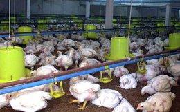 Giá gà thê thảm nhất trong 10 năm qua
