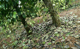 Nông dân trồng tiêu Đăk Lăk thiệt hại hàng tỷ đồng vì phân bón 'rởm'