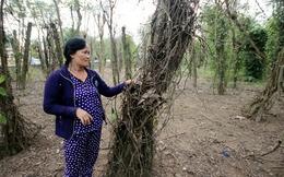 Hàng ngàn trụ tiêu ở Quảng Nam chết khô, nhiều nhà vườn lâm cảnh nợ nần