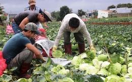 Các vựa rau Lâm Đồng sẵn sàng cho Tết