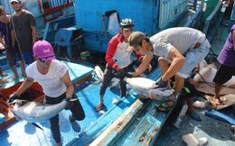 Thất thu cá ngừ đại dương, 80-90% số tàu hành nghề thua lỗ