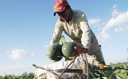Được mùa kép, người trồng dưa hấu Gia Lai gỡ lại thất bát vụ trước