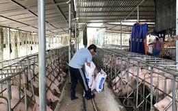 Các doanh nghiệp cần nghiêm túc ngồi lại tìm giải pháp cứu ngành nuôi heo