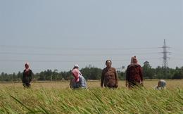 Tồn đọng hàng trăm ngàn tấn lúa nếp