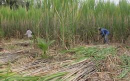 Vùng trồng mía ở Sóc Trăng thiếu nhân công thu hoạch