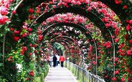 Đừng bỏ qua Lễ hội Hoa hồng Bulgaria đẹp mê hồn ngay giữa lòng thủ đô Hà Nội