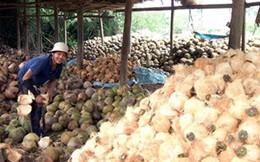 Xứ dừa Bến Tre phải nhập dừa vì thiếu nguyên liệu
