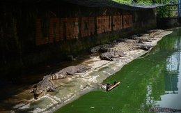 Hàng vạn con cá sấu đói lả 'chờ chết'