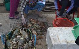 Bộ NN-PTNT vào cuộc vụ tôm hùm chết hàng loạt ở Phú Yên