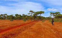 Phá rừng thông, đồi cỏ hồng làm sân golf