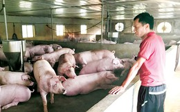 Ai khiến giá lợn hơi đảo điên?