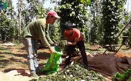 Cảnh báo hậu quả ồ ạt mở rộng diện tích hồ tiêu tại Đắk Nông
