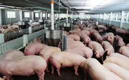 Sử dụng chất cấm trong chăn nuôi, Bộ Nông nghiệp đề xuất phạt nặng 100 - 200 triệu đồng