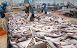 Giá cá tra cao, người nuôi cần thận trọng