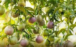 Cập nhật tình hình vườn cây của HAGL: Trồng thêm hồ tiêu và ớt, thanh long khó hoàn thành kế hoạch năm