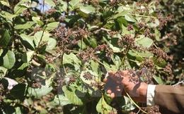 Người trồng điều thất thu, doanh nghiệp 'đói' nguyên liệu