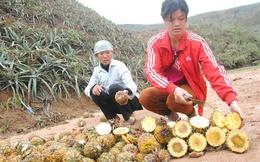 Hàng trăm tấn dứa thối nhũn tại Lào Cai được thu mua để làm gì?