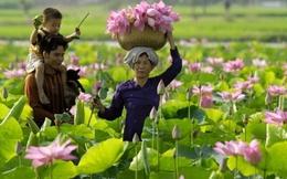 """Ông chủ sứ Minh Long hiến kế biến sen thành """"tulip Hà Lan"""" của Đồng Tháp"""