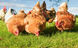 Câu chuyện săn gà và bài học trong đầu tư chứng khoán