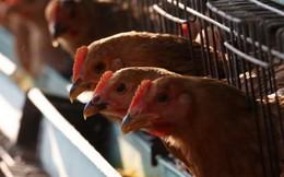Saudi Arabia tạm ngừng nhập khẩu gia cầm sống từ Việt Nam