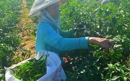 """Hàng trăm hecta ớt tại Quảng Nam đang """"đỏ mắt"""" chờ """"giải cứu"""""""