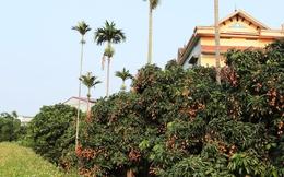 Hải Dương: Người dân Thanh Hà bội thu vải sớm