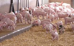 Giá lợn tăng cao nhưng người nuôi vẫn sợ tái đàn