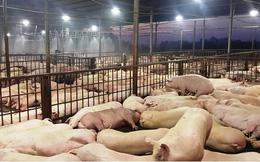 TP.HCM: Sẽ công khai 13 chủ lò giết mổ vụ 3.750 con heo bị tiêm thuốc an thần