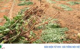 Đà Lạt: Nhiều vườn hoa cúc bị nhổ bỏ vì dịch bệnh