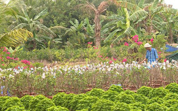 Người dân trồng hoa giấy lao đao vì tin đồn thất thiệt